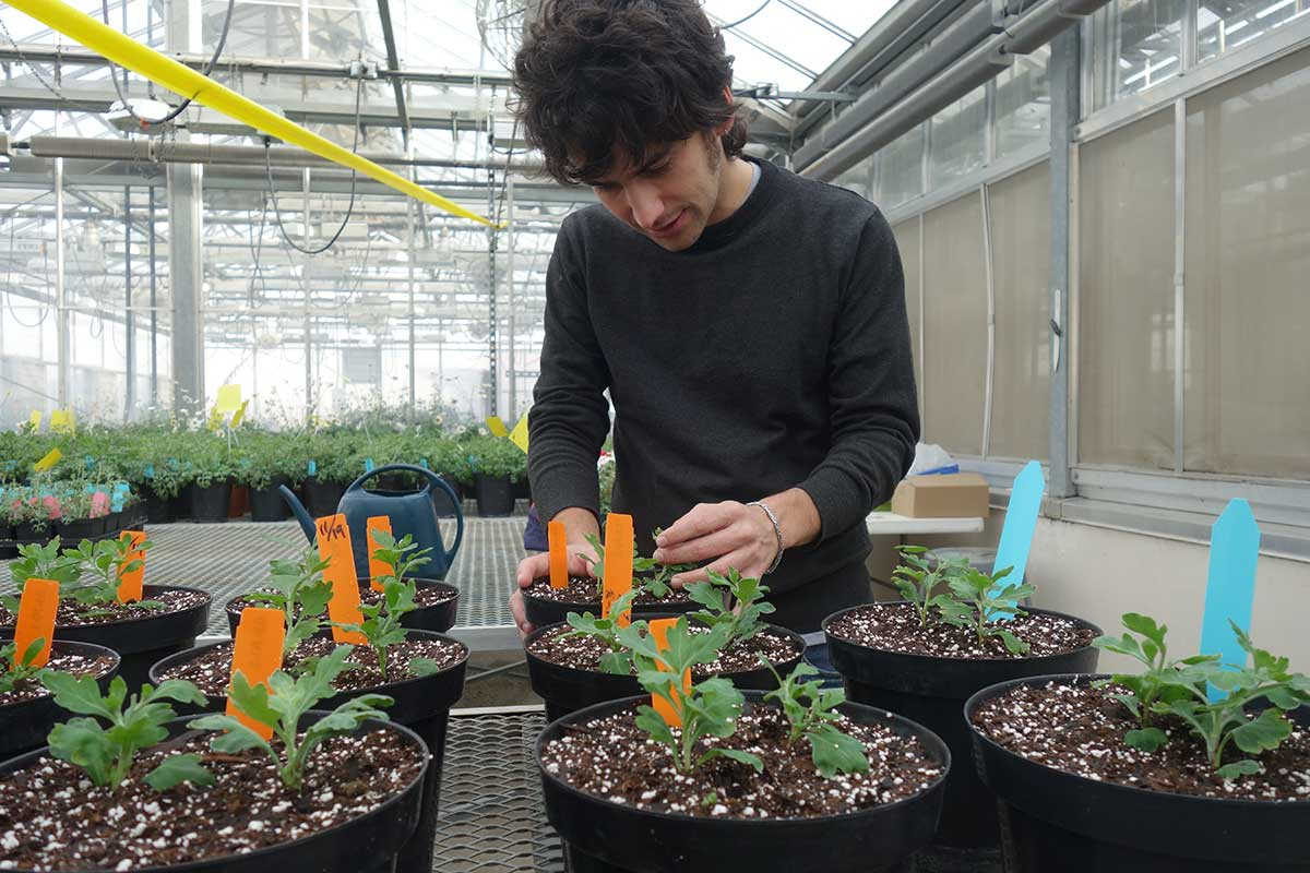 graduate student inspects plants in pots in the greenhouse